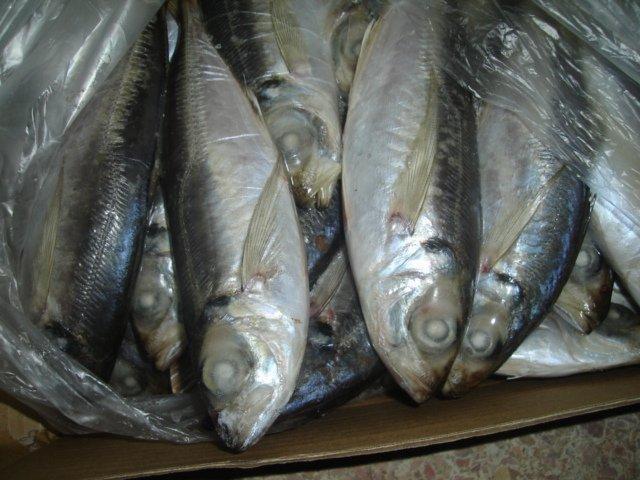 Fresh Mackerel for sale