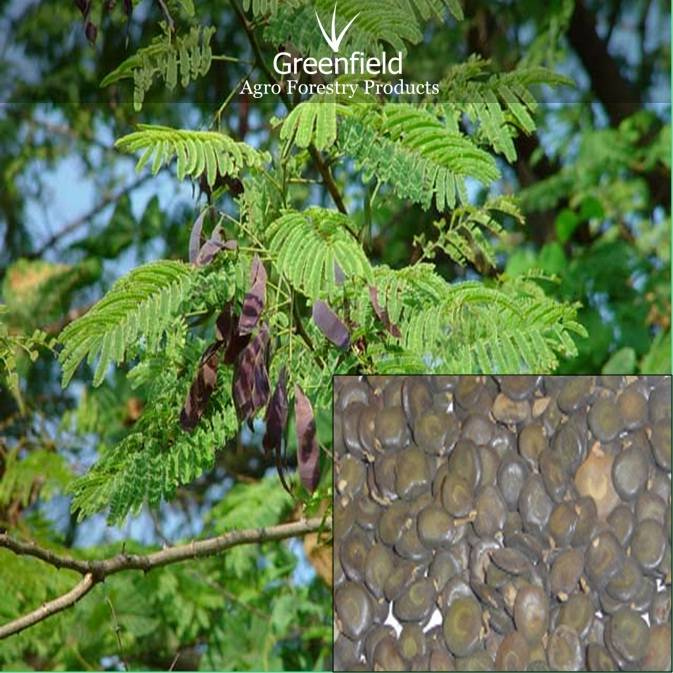 Khair White forestry tree seeds (  Acacia catechu )