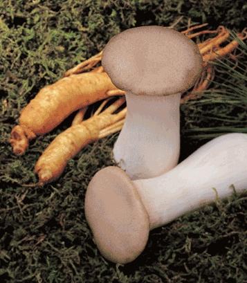 Chaoreum Ginseng mushroom