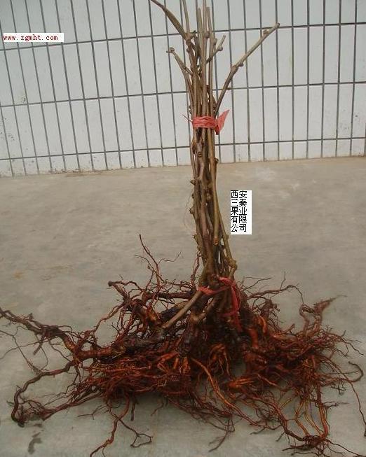 grafted red kiwi seedlings