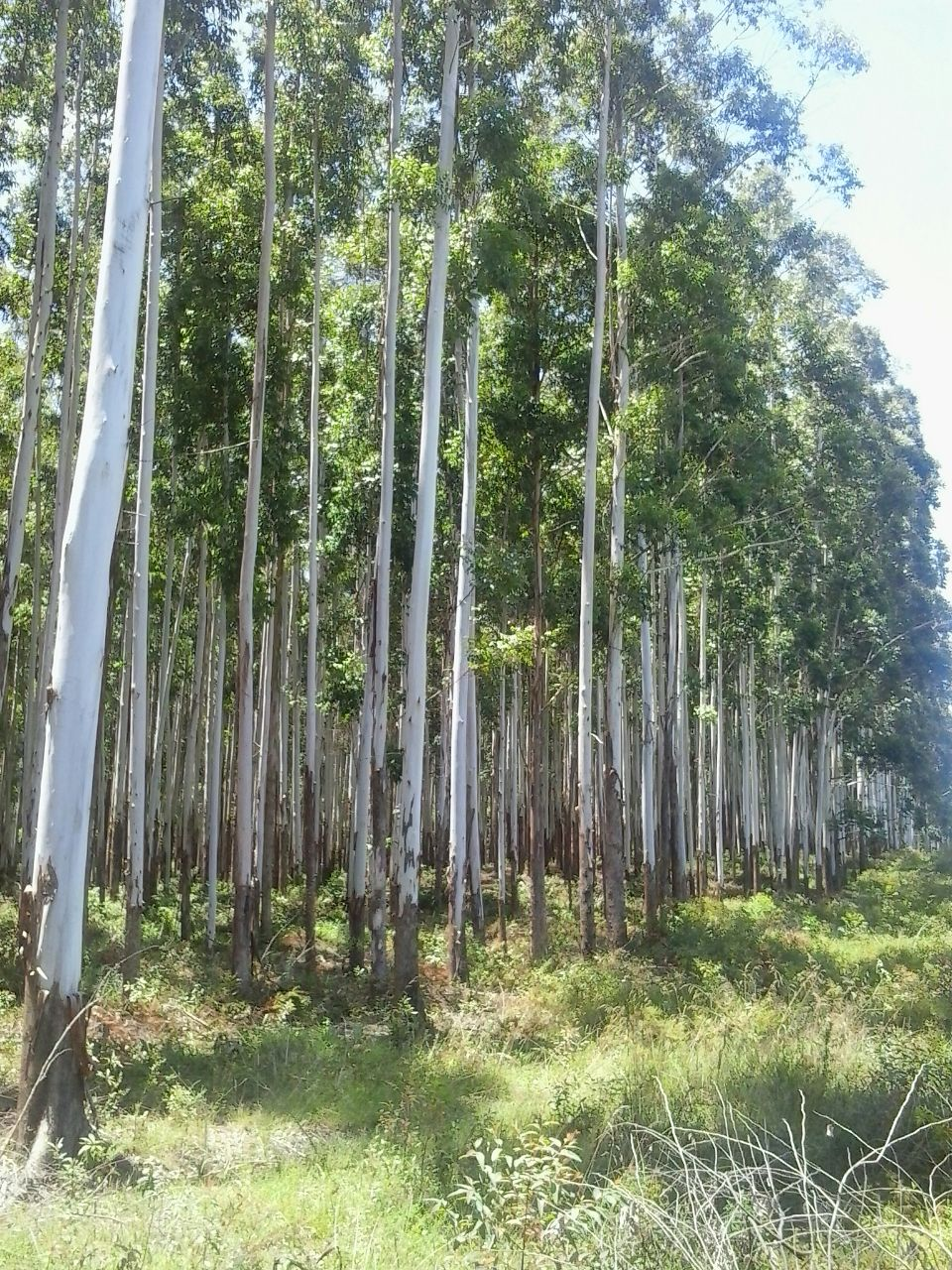 Pinus and Eucalyptus Reforested