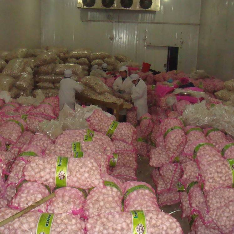 2013 high quality red purple pink normal white garlic for export