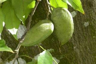 Pongamia Pinnata seeds for Hot sale