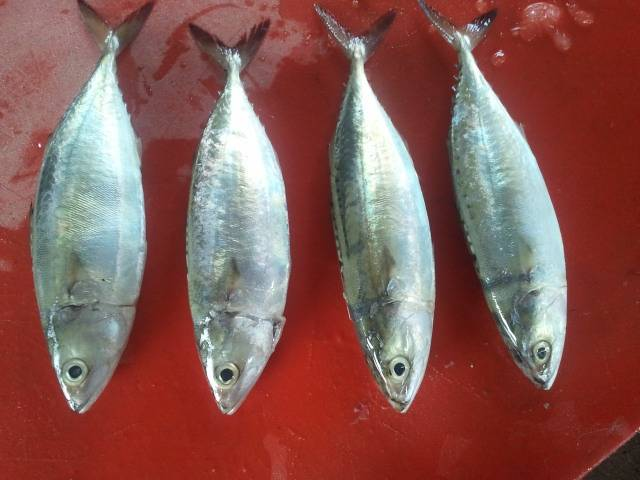 Indian Mackerel with most competitive price!!!!!