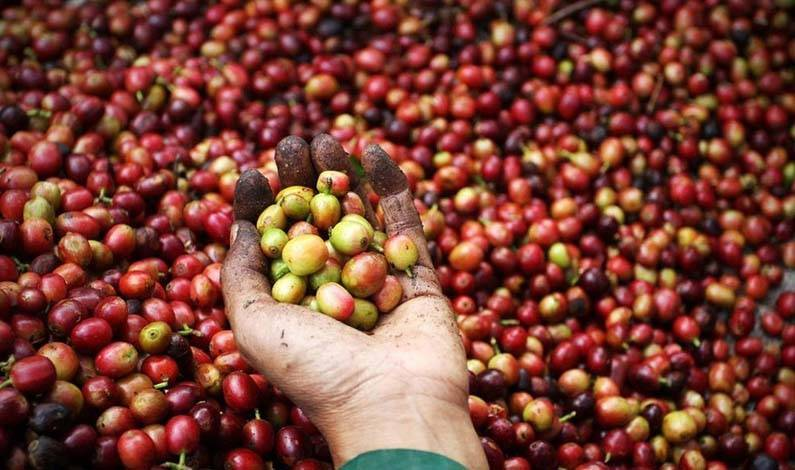 Coffe beans ready for export