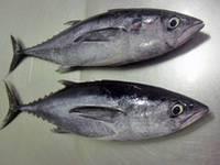 Frozen Big Eye Tuna Fish Export