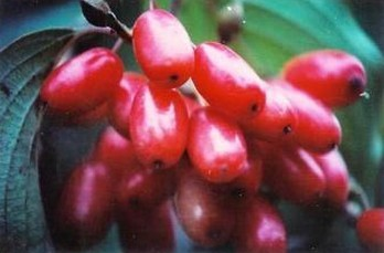 Asiatic Cornelian Cherry Fruit P.E