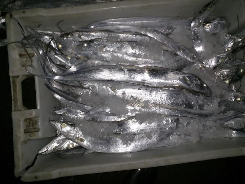 Fresh Ribbonfish A+ Hook Line Caught