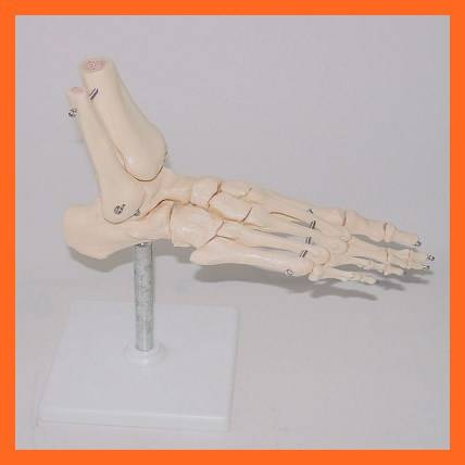 R020920 Foot Anatomical Simulation Foot Joint Skeleton Model for Medical Teaching
