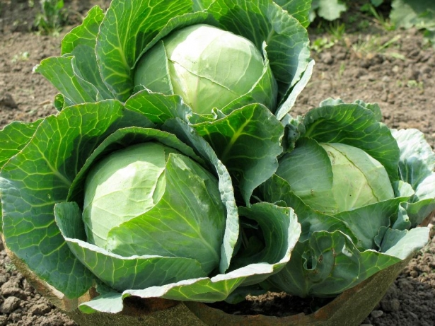Fresh Cabbages for sale