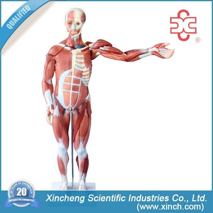 Human Anatomy Muscle Model 27Parts