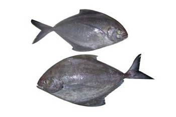 BLACK POMFRET WHOLE WORD