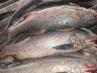 Fresh Frozen Ocean Fish King Threadfin/Kurau Fish