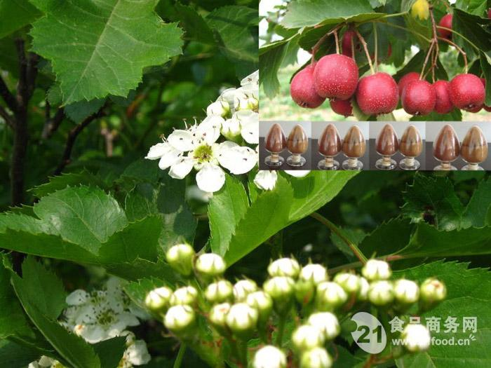 100% pure natural Hawthorn leaves flavonoids 25% hawthorn fruit extract