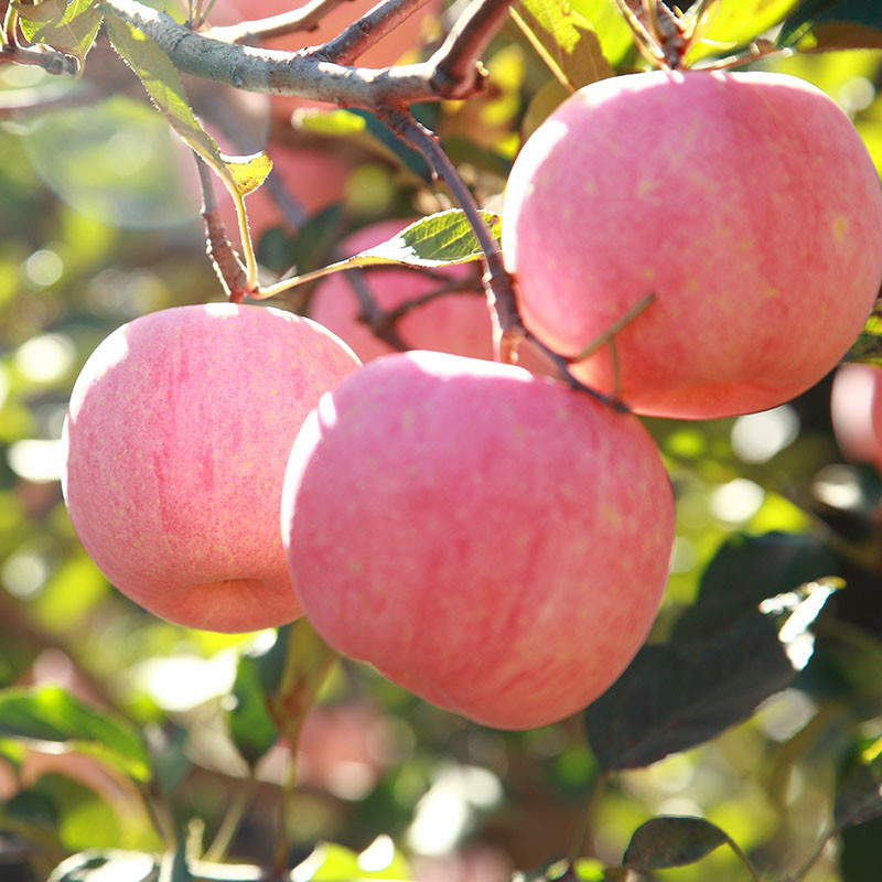 Apple fruit of Fuji Apple, Red delicious apple
