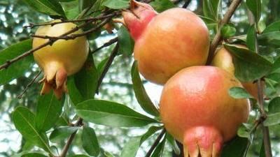 Pomegranate Extract 40% Ellagic Acid