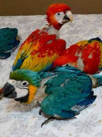 Blue And Gold Macaw Parrots And Eggs