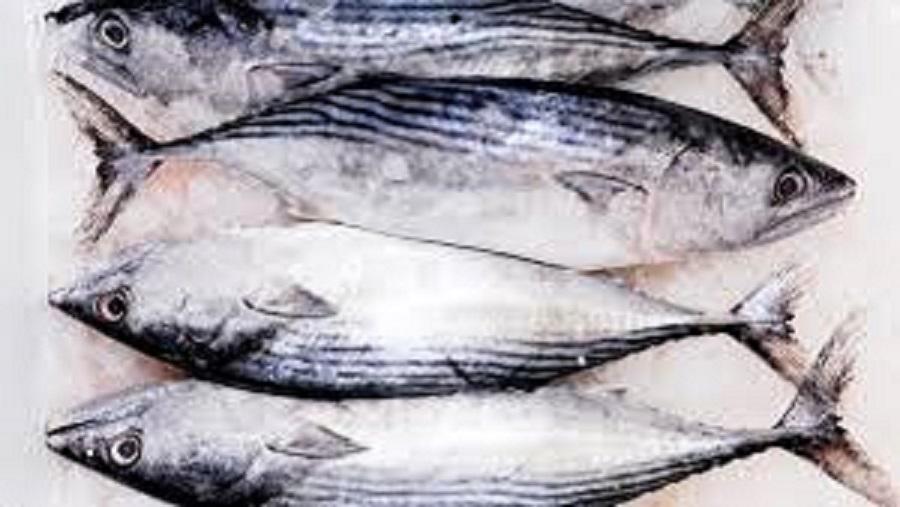 FROZEN BONITO TUNA W/R/FISH/SEAFOOD
