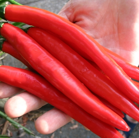 fresh Red chilli Red Dry Hot Chilli