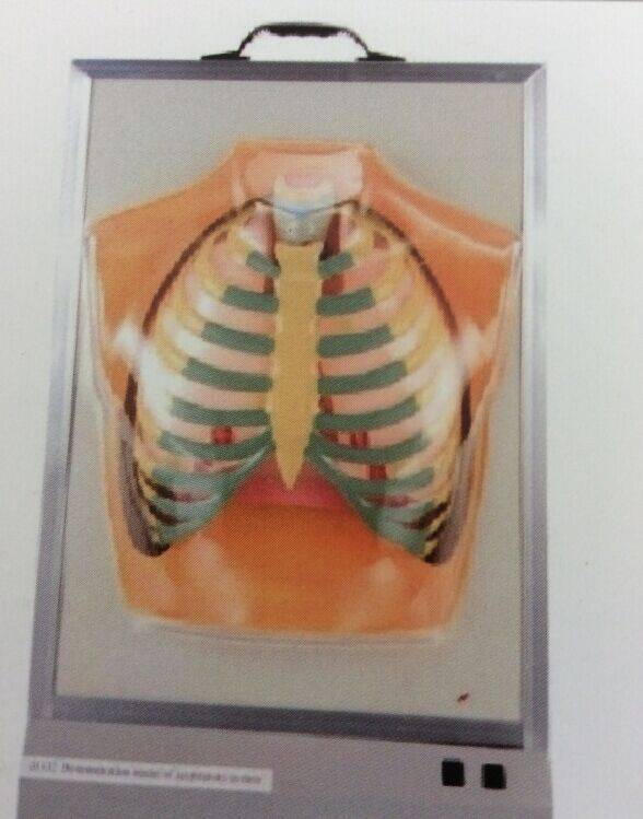 KF 20502 Demonstration Model of Respiratory System
