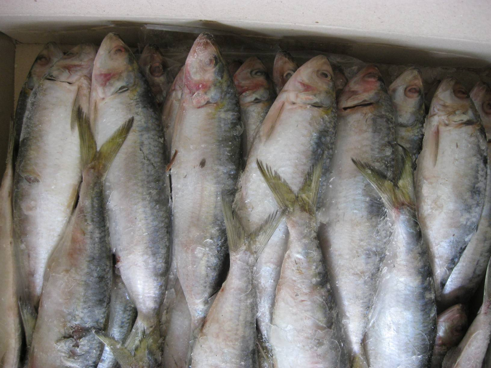 Sardinella Longceps with most competitive price!!!!!!