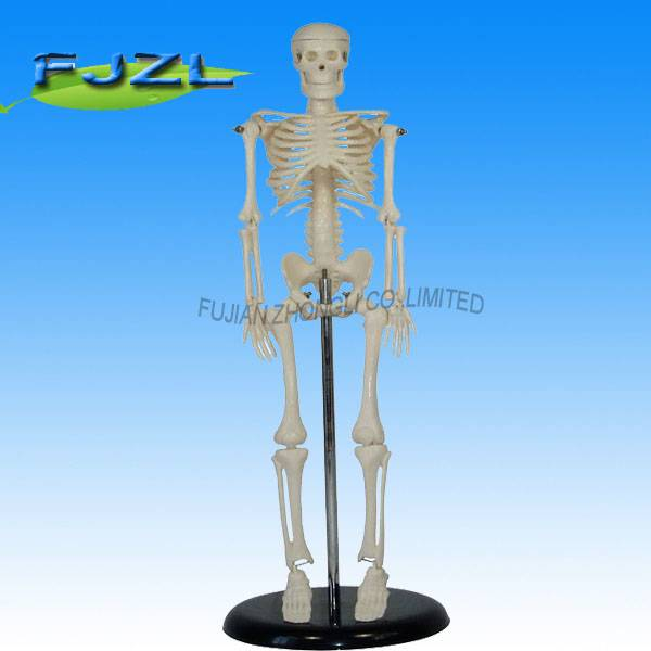 Mini skeleton 42CM tall