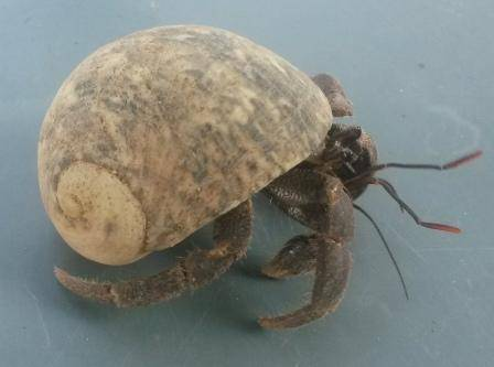 Rugosus Hermit Crabs