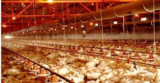 poultry feeding system