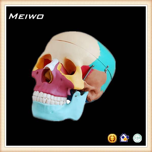 Skull chromatographic separation model head anatomy model