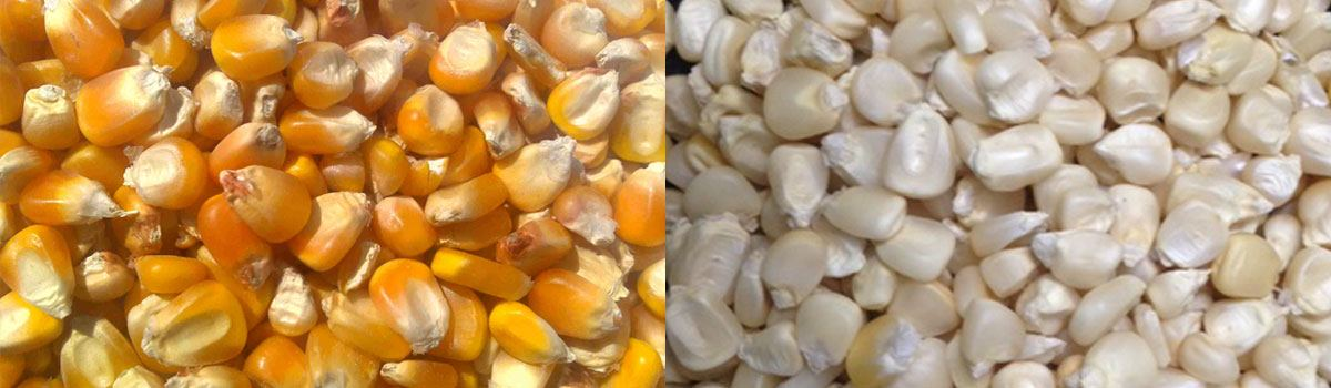 Yellow/white Corn for Sale