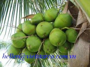 YOUNG COCONUT FRUIT
