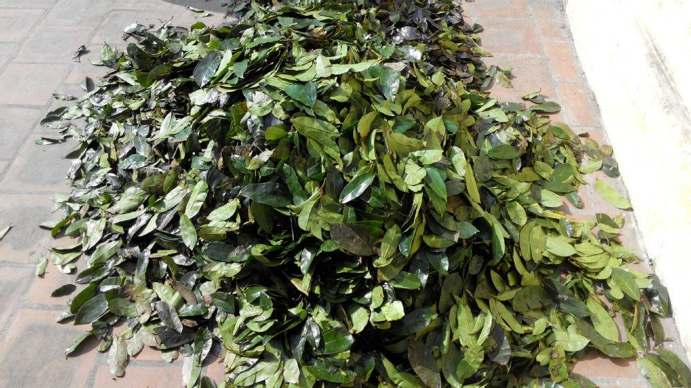 dried soursop leaves for anti cancer treatment