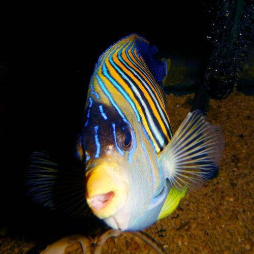Aquarium Marine Fish - Regal Angle Fish