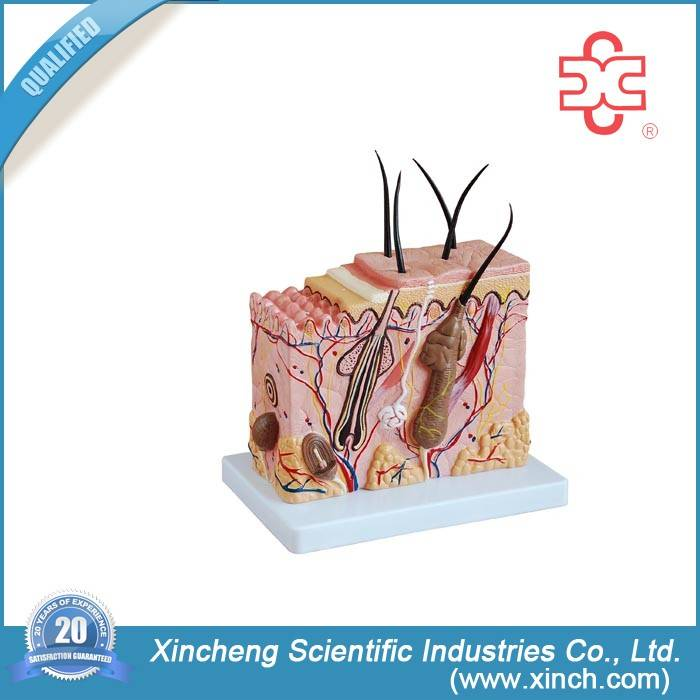 Anatomical  Giant Skin Model