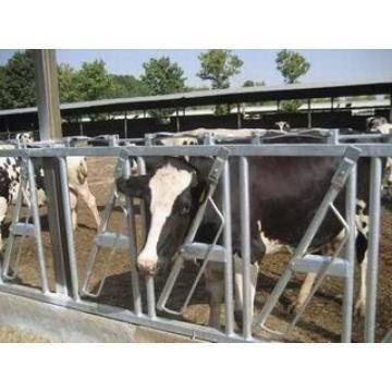 cattle headlock for dairy farm