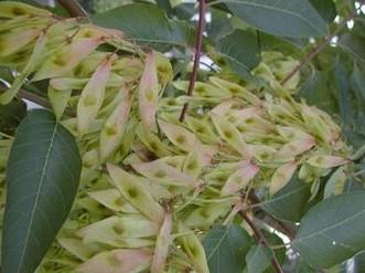Quassia extract(ramulus et folium picrasmae)
