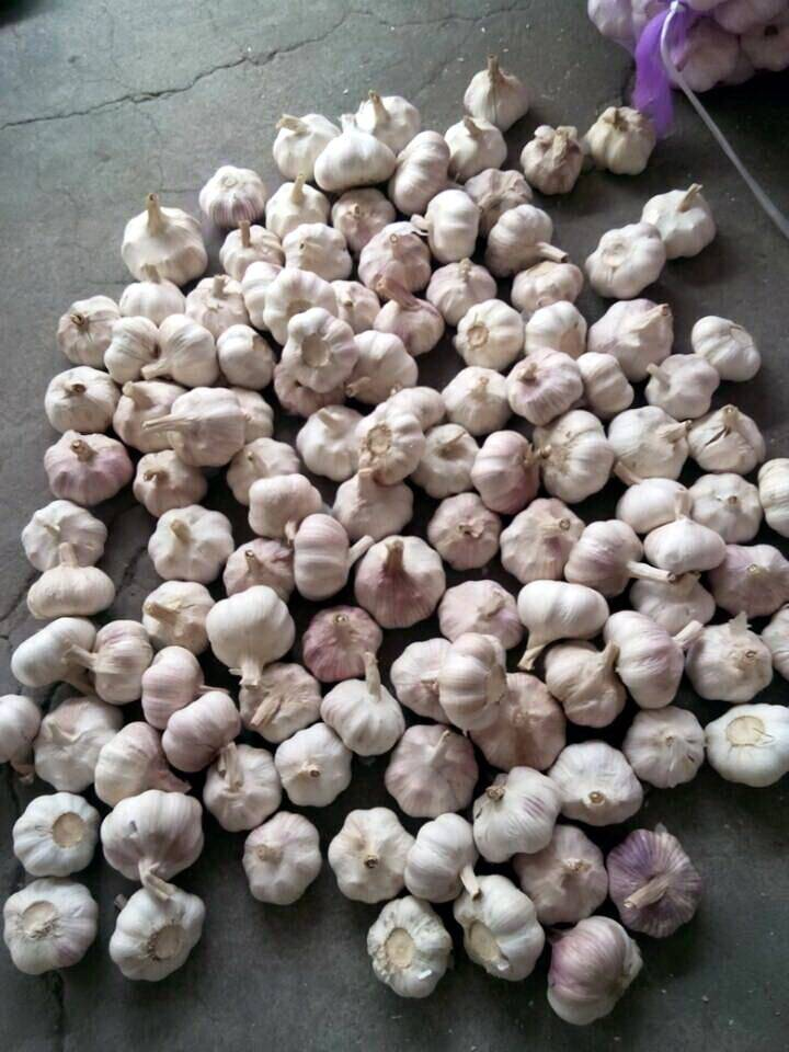 Whole sale fresh normal white garlic