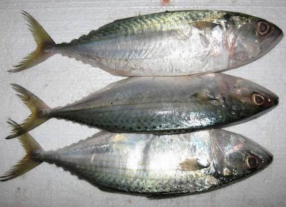 Frozen whole round Indian mackerel