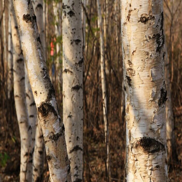 Natural Betulinic acid from white birch bark extract