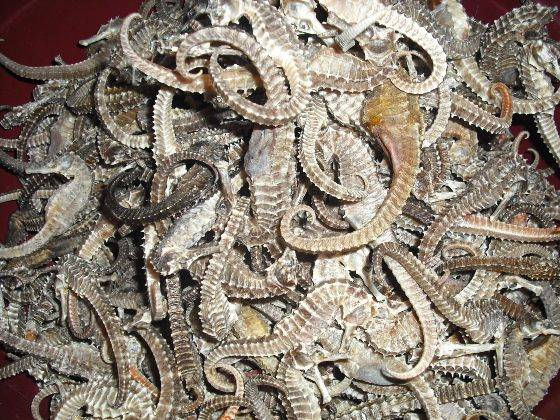 Good quality of seahorse available