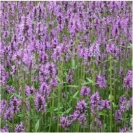 Stachys officinalis flower/leaf/stem Extract