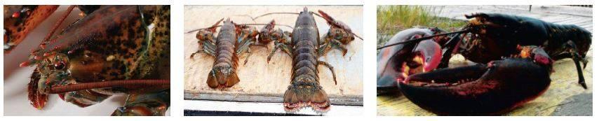 Atlantic Canada Lobster