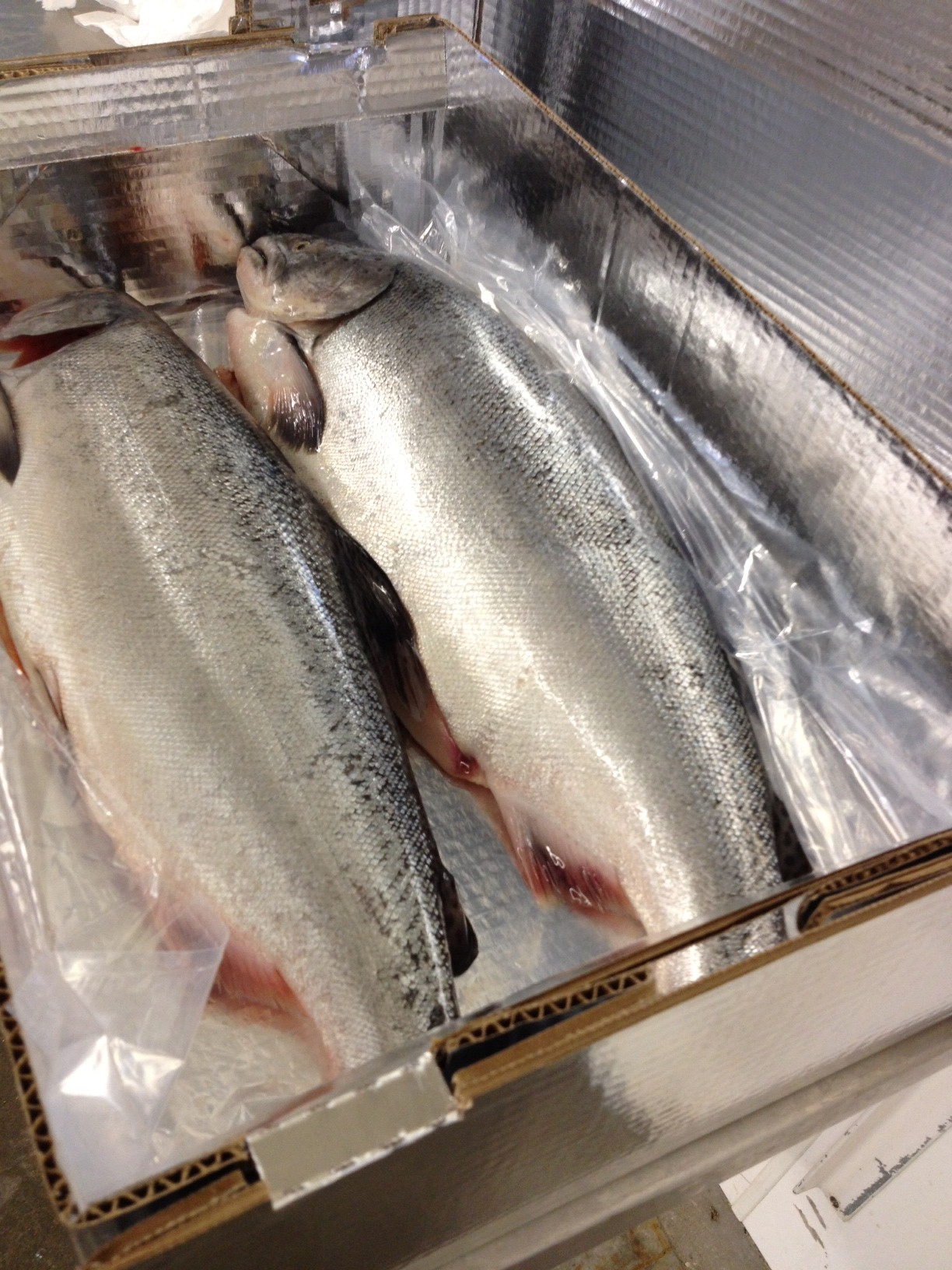 Fresh and Frozen Atlantic Salmon Fish
