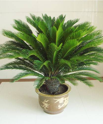 Cycas Revoluta, Sago Palm, King Sago, Sago Cycad, Sotets, Japanese Sago Palm