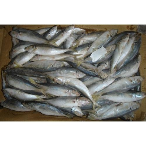 Spanish Mackerel Fish