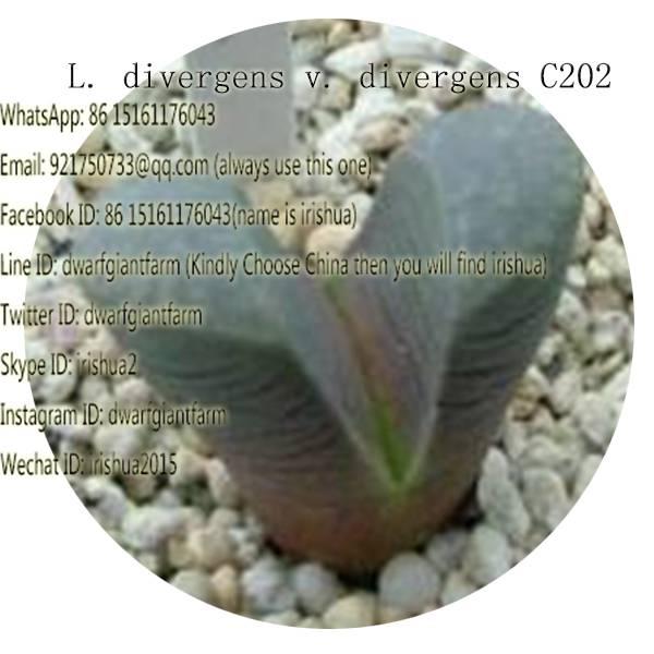 50pcs a set L. divergens v. divergens C202 seed 25usd