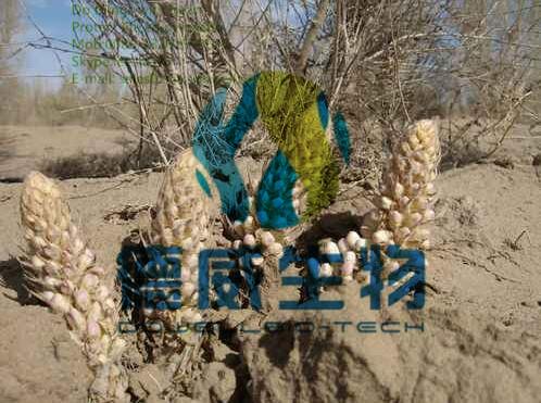Pharma Grade Cistanche Deserticola Ma Extract