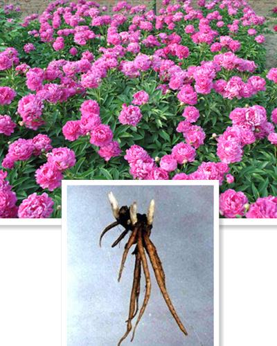 Herbaceous Peony Seedling