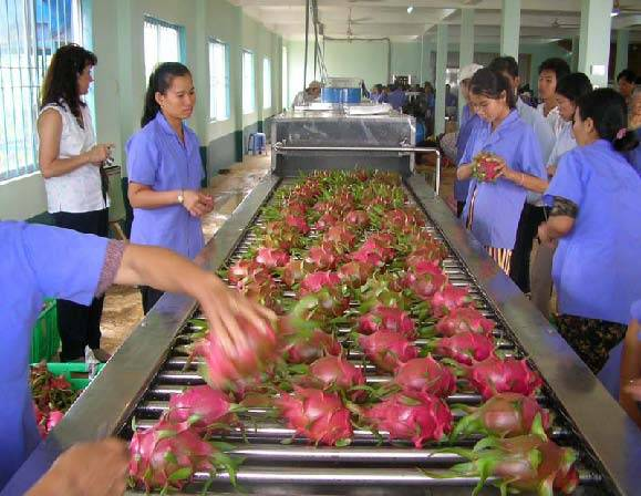 FRESH DRAGON FRUIT FROM VIETNAM MS HA 84974258938
