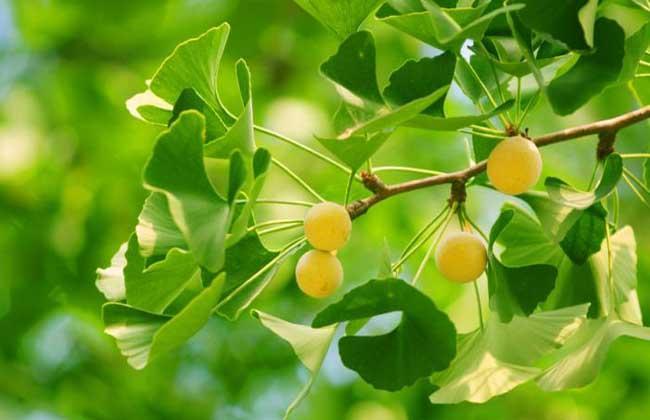 Ginkgo biloba extract Total Flavonoids Total Terpene Lactones Ginkgolic Acid